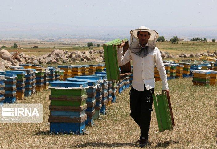 Пчеловодство в иранском Ардебиле (фото)