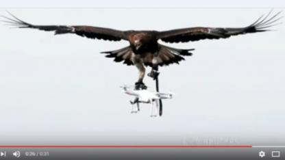 Француздар қыранмен дрон аулап жүр (видео)