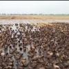 Күріш алқабын зиянкестерден қорғау үшін үйректі үйірімен пайдалануда (видео)