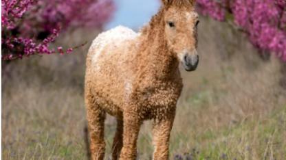 Кучерявая лошадь