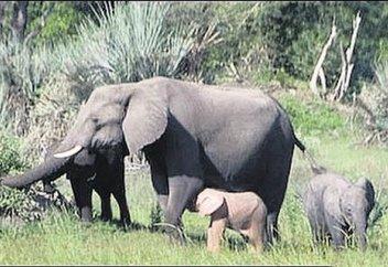 В Южной Африке нашли розового слоненка (видео)