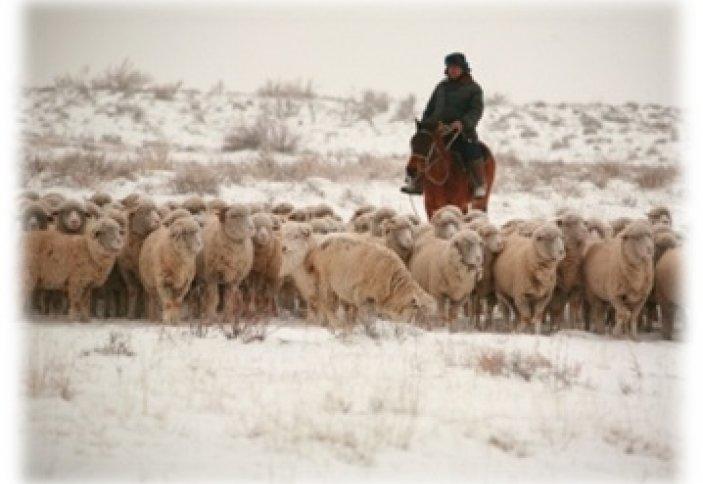 Возрождение овцеводства в Северном Казахстане