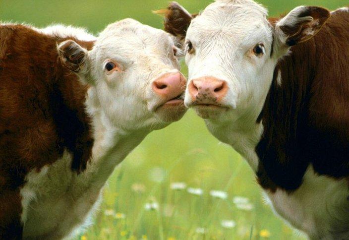 Правительство Англии «за» убой скота по Исламу