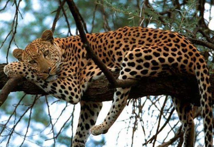Араб леопардтарына жойылу қаупі төніп тұр