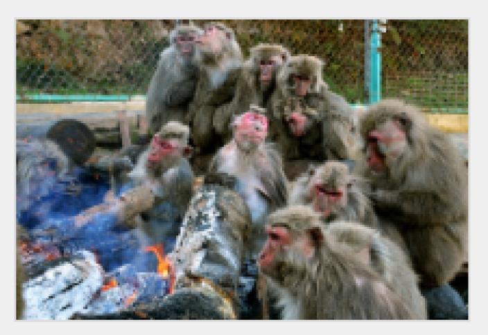 Алау басындағы маймылдар (видео)
