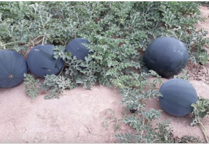 Разные: Чёрный и без косточек: в Узбекистане вывели новый сорт арбуза