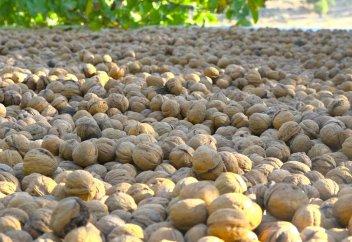 Сбор урожая грецкого ореха в провинции Кохгилуйе и Бойерахмед (фото)