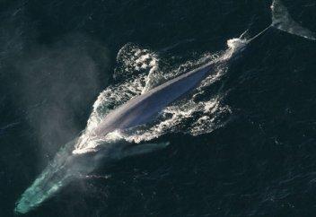 """Исследователи разобрались, как киты умудрились """"утереть нос"""" всем гигантам прошлого (видео)"""
