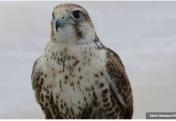 Пересадка перьев вернула соколу возможность летать. Доктор успешно провел операцию по удалению катаракты у белки