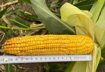 Как кукурузу сорта «Алия» от Kusto Group стали выращивать в Америке