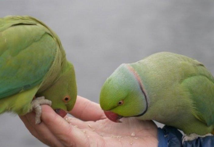 Попугаи захватили Лондон.