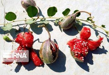 Лагджи - самый важный вид растений в провинции Бушер (фото)