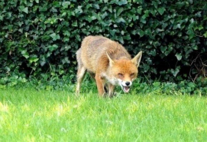 Лисы - городские животные Лондона.