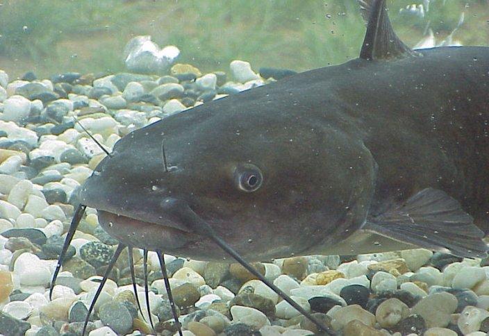 Можно ли есть рыбу сом?