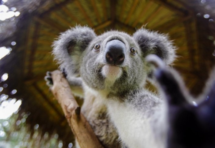 Шамамен 700 коаланы өлтірді