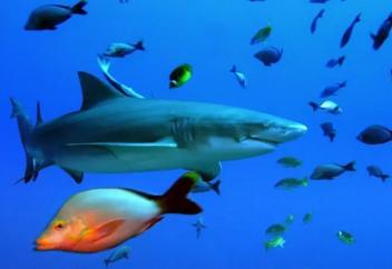 Араб елінде акулаларды аулауға тыйым салынды