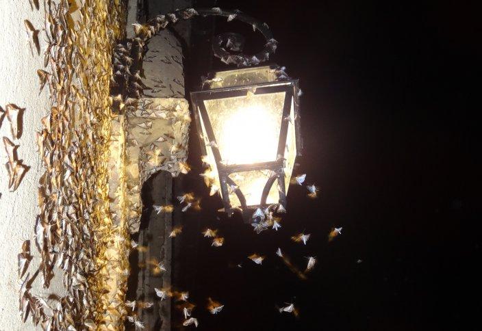Светодиодтік көше шамдарынан жәндіктер семіріп барады