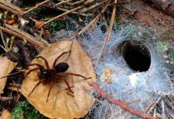 Австралию ждет нашествие ядовитых пауков