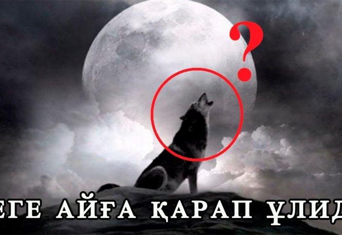 Қасқырлар неге Айға қарап ұлиды?