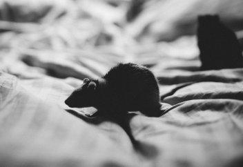 «Это ужасно действует на психику»Австралию атаковали миллиарды мышей. Они устраивают пожары и кусают детей по ночам