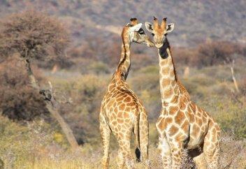 Биологи выяснили, зачем жирафам длинные шеи