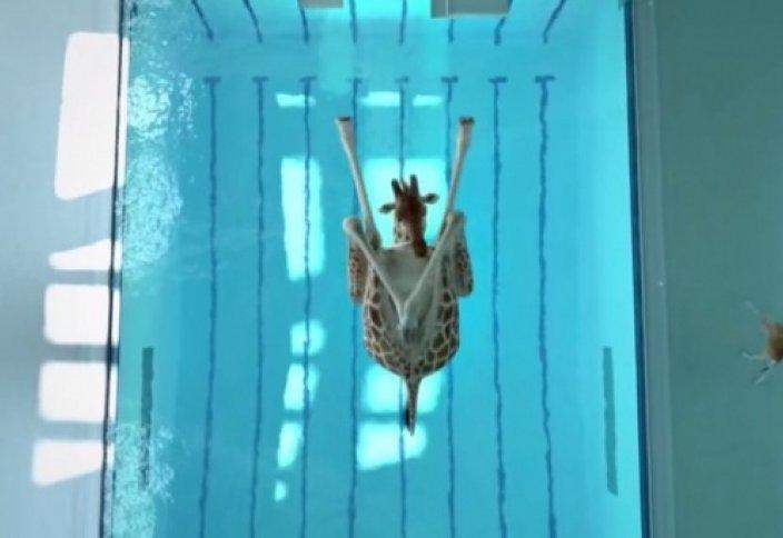 Жирафтар суға секіруден спорт шебері (видео)