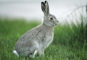 Можно ли употреблять кроличье мясо?