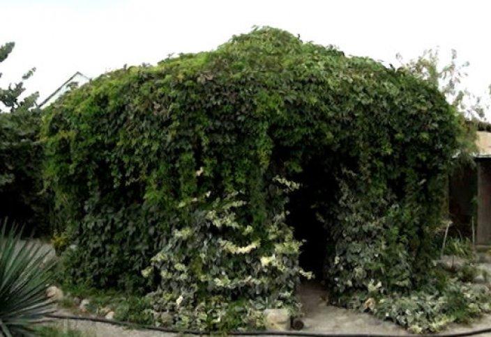 Оазис в Гяндже: азербайджанец превратил свой двор в ботанический сад - видео
