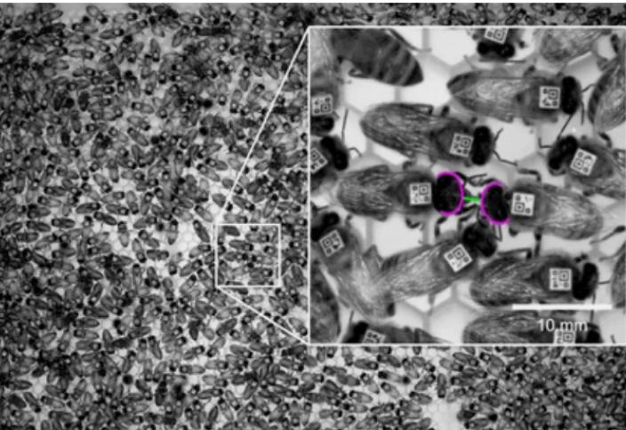 Вирусная инфекция заставляет пчел практиковать социальное дистанцирование