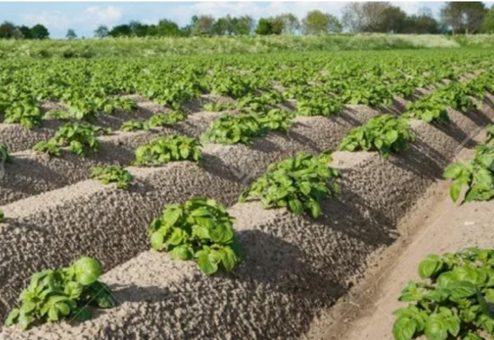 Голландские секреты выращивания картофеля. Автоматическая картофельная пушка вышла на тропу войны (видео)