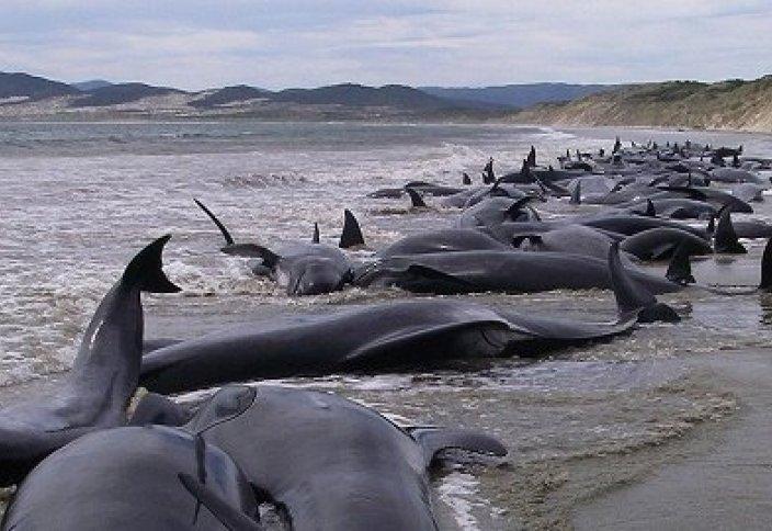 Жаңа Зеландияда жағалауға шыққан 200 дельфин қырылып қалды