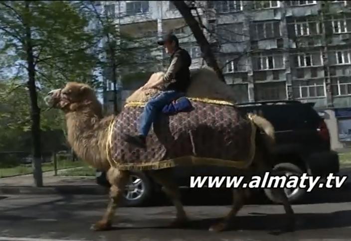 Алматы тұрғыны көшеде түйемен жүруді әдетке айналдырған (видео)
