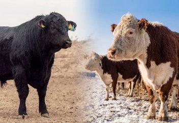 Акбас vs Ангус: плюсы и минусы пород. Почему акбасы идеальны для казахской степи