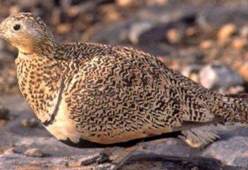 Гражданин Саудовской Аравии оштрафован за охоту на редких птиц в Жамбылской области
