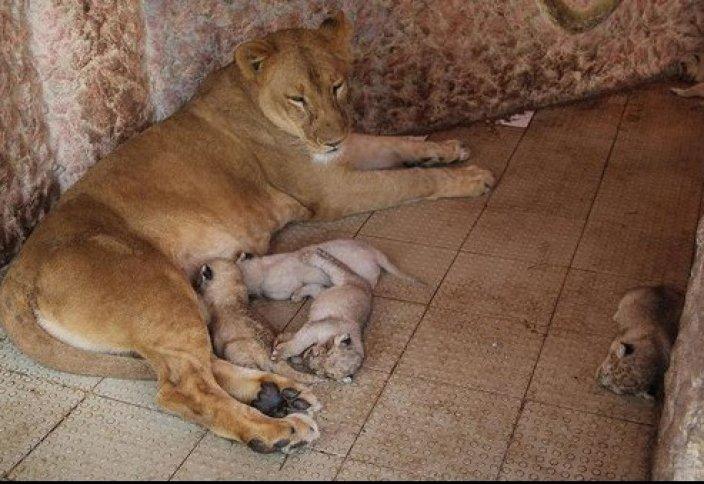 Редкостное размножение львов в доме у пакистанского мусульманина