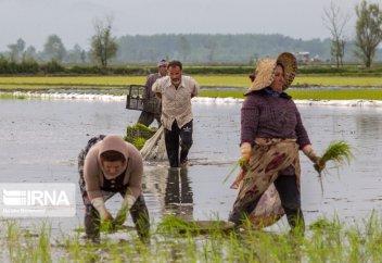 Посадка саженцев риса в иранском Гиляне (фото)