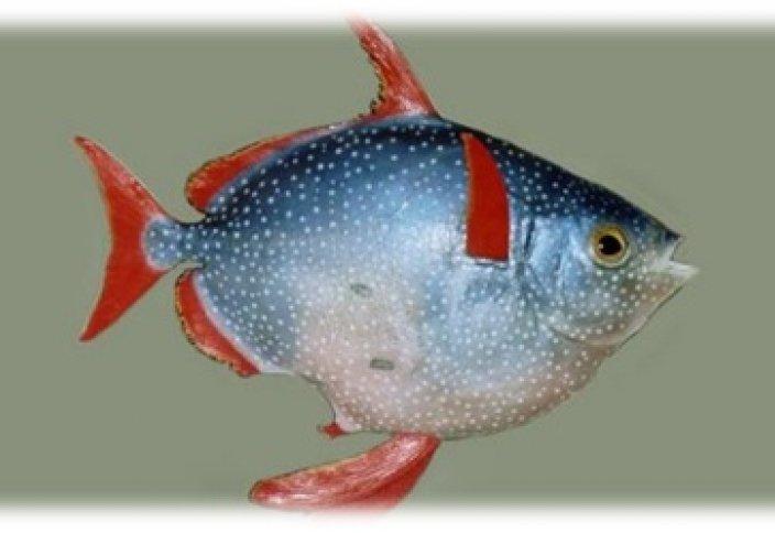 Первая в мире теплокровная рыба