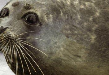 Издевательства над тюленями: спасет ли животных Красная книга