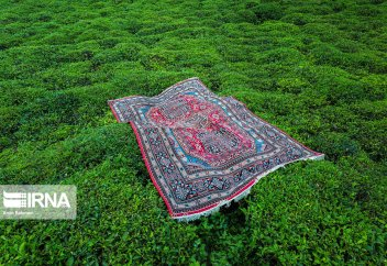 Весенний сбор чая в Гиляне (фото). Чайвала – пакистанские мастера чая (фото)