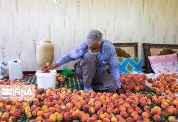 Сбор урожая персиков в городе Саман (фото)