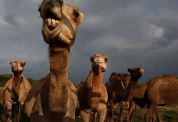 В Саудовской Аравии создан клуб любителей верблюдов