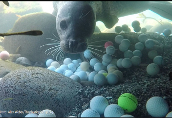 Тынық мұхитының түбіне шөккен гольф доптары (видео)