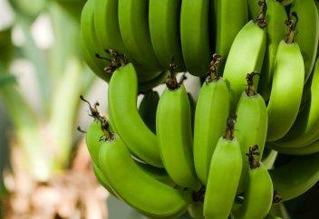 Әлем банансыз қалуы мүмкін