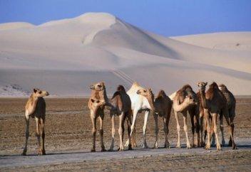 Жертвами дипломатического кризиса в арабском мире стали тысячи верблюдов