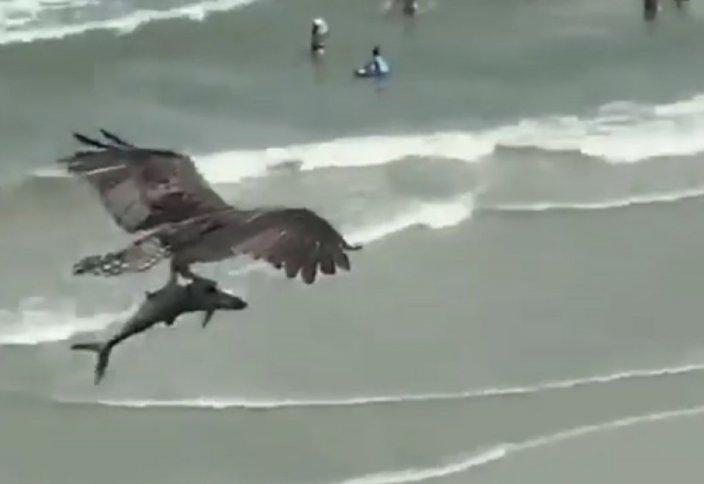 Сирек көрініс:  Тазқара акуланы ілді (видео)