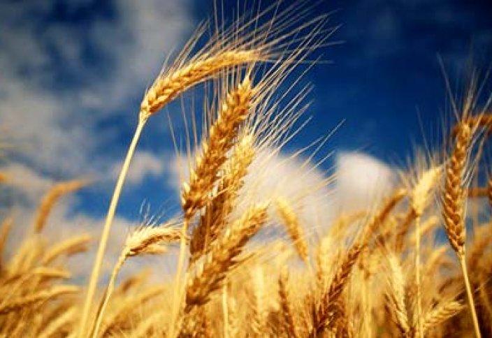 Почему Казахстан рискует терять 7 млн тонн зерна в год