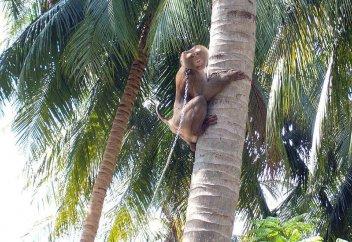 Фермерлердің маймылдарды құл ретінде қара жұмысқа жегіп келгендері әшкере болды