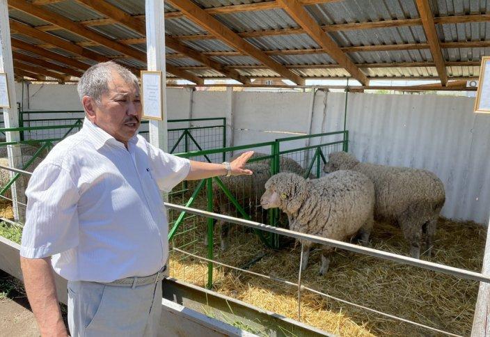 Мясную породу овец создают в Казахстане