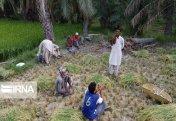 Сбор урожая риса на юго-востоке Ирана (фото)