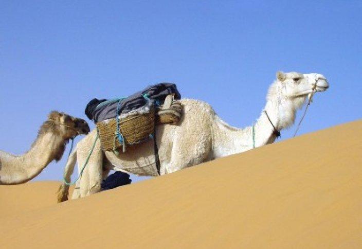 Верблюды Персидского залива - носители опасного вируса, передающегося человеку